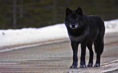 Black Wolf Wallpaper black wolf wallpapers 183 wallpapertag