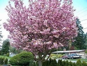 Cherry Blossom Tree - Trees Photo  19838734