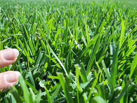 All About Matilda Buffallo Soft Leaf Grass