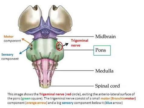 how to remember cranial nerves part 5 trigeminal nerve 5th cranial nerve