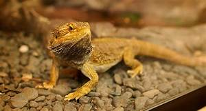 The Top 10 Foods for Your Bearded Dragon's Diet - ZoomTens