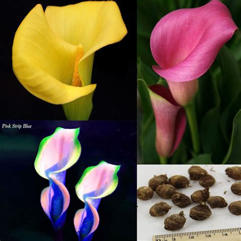 calla colors 2 bulbs calla bulbs potted balcony plant calla bulbs