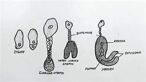 Diagram Of Stages In Embryo Development