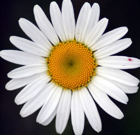 daisies flowers the flower garden daisy flower meaning