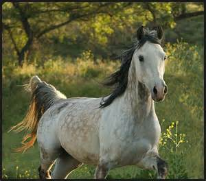 Arabian Horse Association – Everything You Need to Know