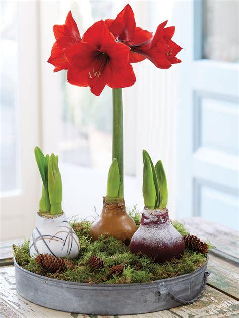 easy care waxed amaryllis  shipping gardeners supply