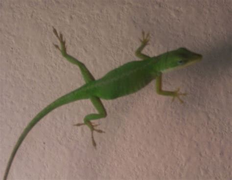 green anole facts  pictures