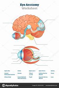 Eye Anatomy Blank Worksheet  Printable Test Illustrations