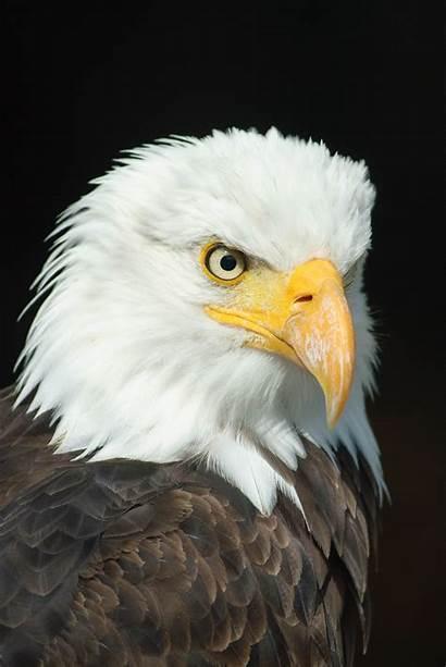 Eagle American Desktop Wallpapers 4k Yodobi