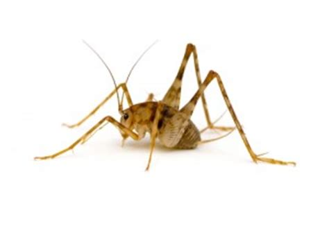 camel crickets brody brothers pest control baltimore md