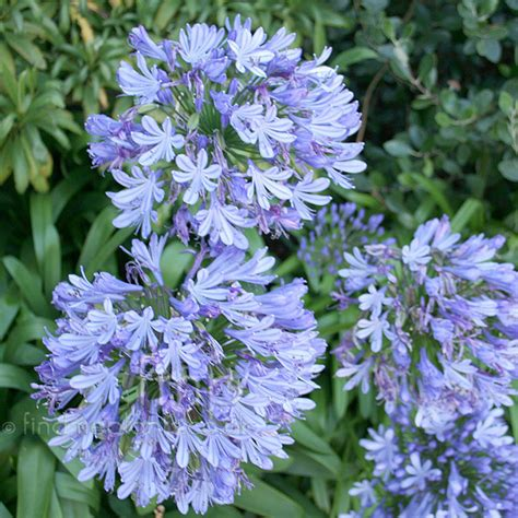 varieties of agapanthus top 28 types of agapanthus plant pictures agapanthus windsor grey agapanthus northern star