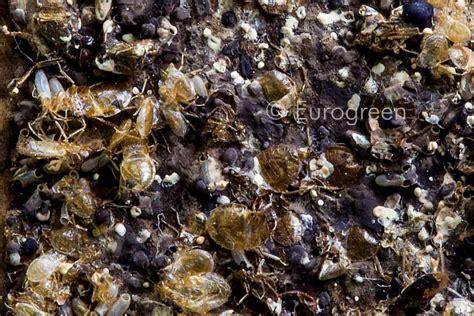 vacchetti giuseppe catalogo cimici materasso 28 images come eliminare le cimici da