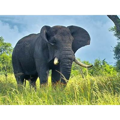 African Bush ElephantThe Life of Animals