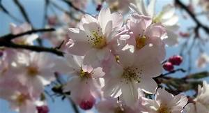 Rosa Blühender Baum Im Frühling : kostenloses foto bl ten baum fr hling rosa ~ Lizthompson.info Haus und Dekorationen