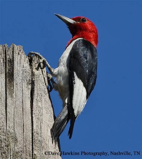 tennessee watchable wildlife red headed woodpecker