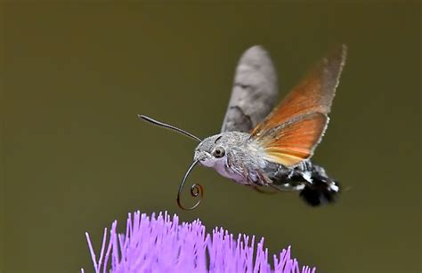 Hummingbird Hawkmoth Facts  Insects In Education
