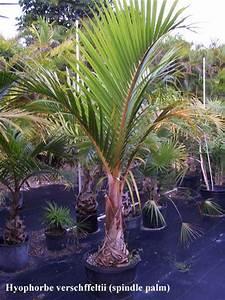 Indoor Spindle Palm | www.pixshark.com - Images Galleries ...