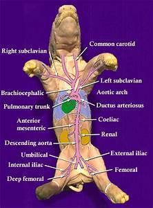 Major Arteries Of The Fetal Pig