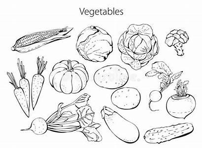 Vegetables Clipart Dreamstime Beetroot Fruits Illustration Royalty