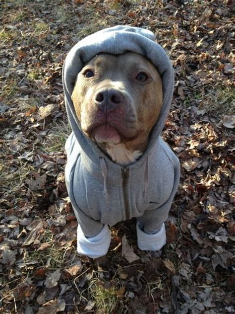 pitbull sweaters pit bull for the of pitties