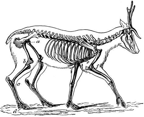 skeleton   deer clipart