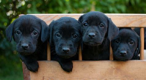 black lab  guide   black labrador retriever