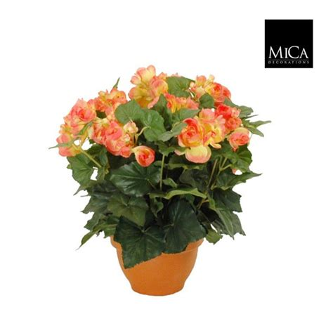 begonia h 37 saumon pot
