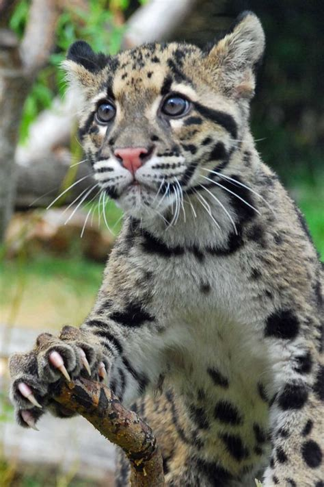 big cats felidae images  pinterest big cats