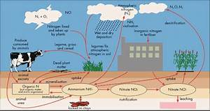 Nitrogen Cycle Showing Significance Of Ammonium