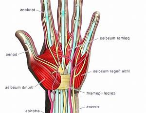 Diagram  Hand Muscles Diagram