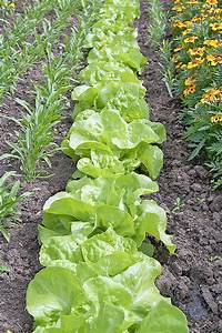How to Grow Lettuce and Microgreens | Gardener's Path