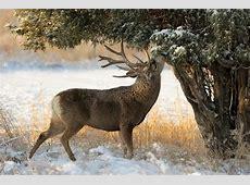 Pictures Deer Horns Winter Snow Trees Animals