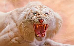 TIGER [01] angry albino [26may2014monday] [013459 ...