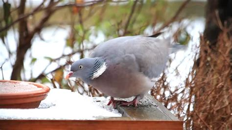 wood pigeon big dove feeding bird food in snow stock