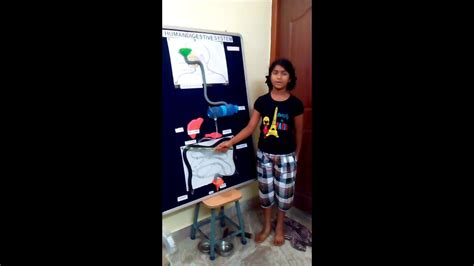 human digestive system working model youtube