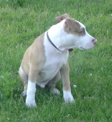 Fileamerican Pit Bull Terrier  Months Old Jpg