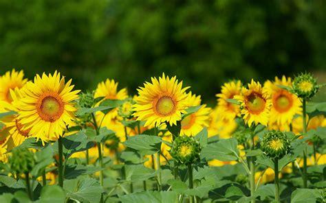 sunflower background image wallpaperscom