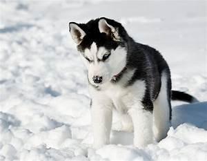 Bébé Loup Blanc : photo de whisky chien 192958 wamiz ~ Farleysfitness.com Idées de Décoration