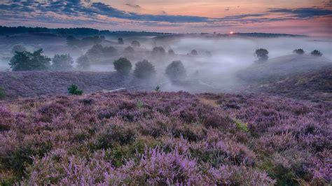 Blühende Besenheide Niederlande Bing Fotos
