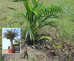 Palmen Für Drinnen : winterharte pflanzen florashop2000 ~ Bigdaddyawards.com Haus und Dekorationen