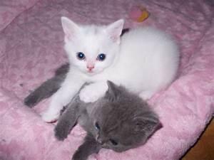 White British Shorthair Male Kitten | Wymondham, Norfolk ...
