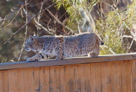 bobcat  lynx  mountain lion  boulder