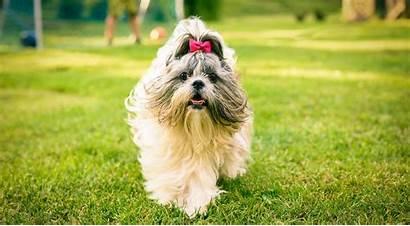 Shih Tzu Dog Breed Breeds Cuddle Facts