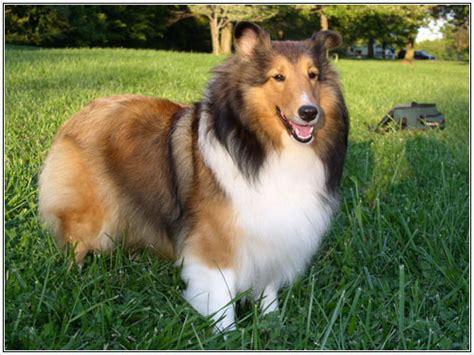 le berger for sale chien intelligent le top 10 des surdou 233 s guide du chien