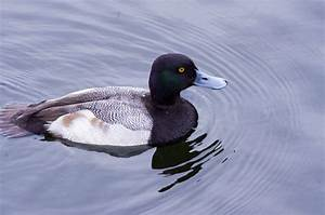 Duck penises grow bigger when there are more males around  Lesser