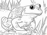 Pollywog Coloring Bullfrog Template Sketch sketch template