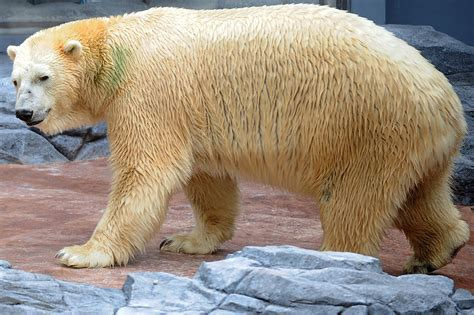 polar bear singapore zoo inuka tropical aged dies