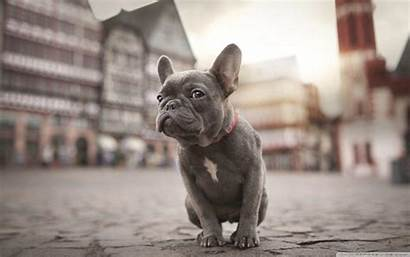 French Wallpapers Bulldogs Bulldog Desktop 4k Ultra