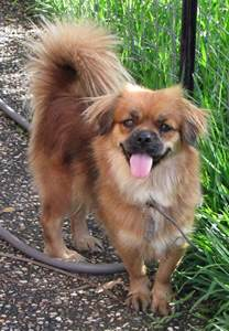 pekingese pomeranian mix breeds picture