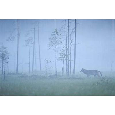 Wild European Grey Wolf (Canis Lupus) Silhoutted in Mist
